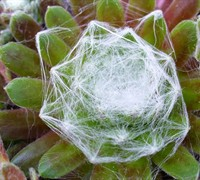 Sempervivum arachnoideum 'Cobwebb Buttons' - Cobweb Buttons Hen And Chicks