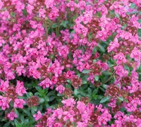 Shop Pink Chintz Thyme - 18 Count Flat of 3.5