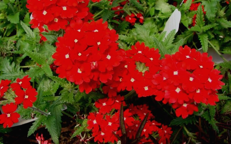 Buy verbena peruviana 39 red devil 39 peruvian red hardy verbena 10 count flat 4 5 pots - Tough perennial bloomers drought insect and pest resistant flowers ...