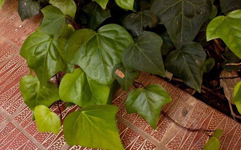 Algerian Ivy - 18 Count Flat of 3.5