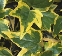 Hedera helix 'Gold Child' - Gold Child Ivy