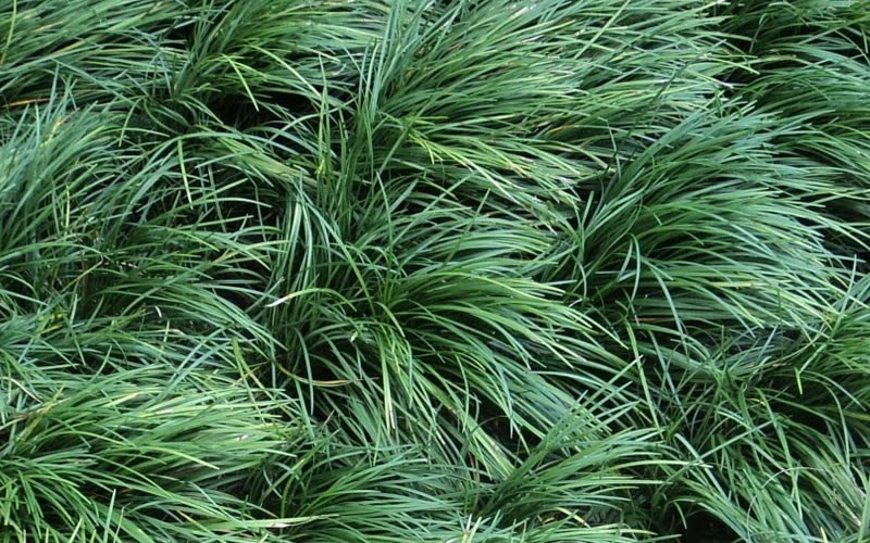 "Mondo Grass - 18 Count Flat of 3.25"" Pots - Perennial Grasses 