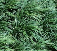 "Shop Mondo Grass - 18 Count Flat of 3.25"" Pots"