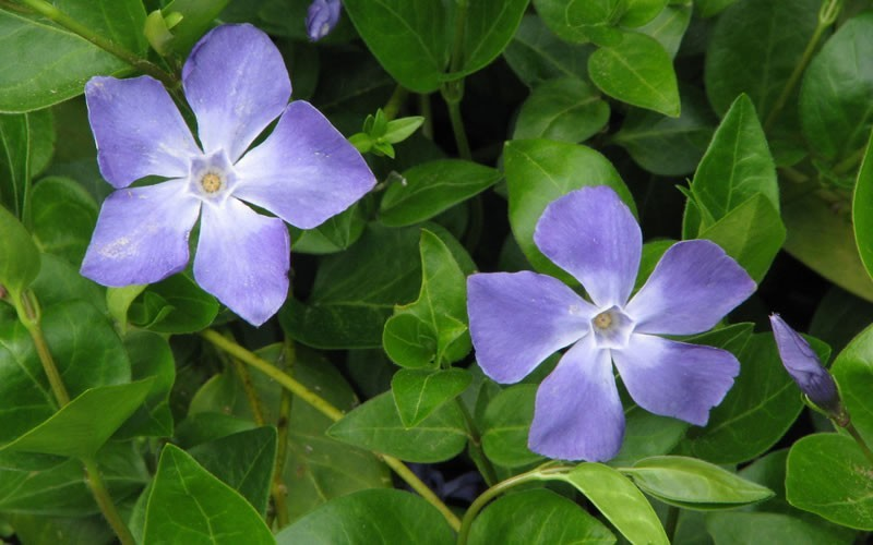 Vinca major - Bigleaf Periwinkle - 18 Count Flat of 3.5