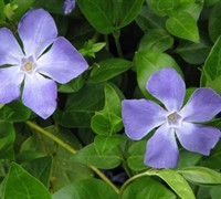 Vinca major - Bigleaf Periwinkle