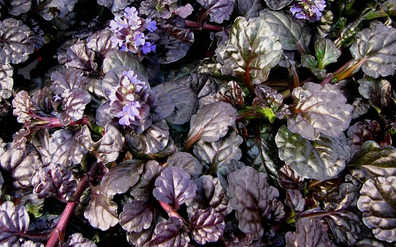 Ajuga Black Scallop Bugleweed - 3 Count Flat of Pint Pots - Ajuga - Bugleweed | ToGoGarden