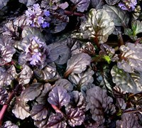 Shop Ajuga Black Scallop Bugleweed - 3 Count Flat of Pint Pots