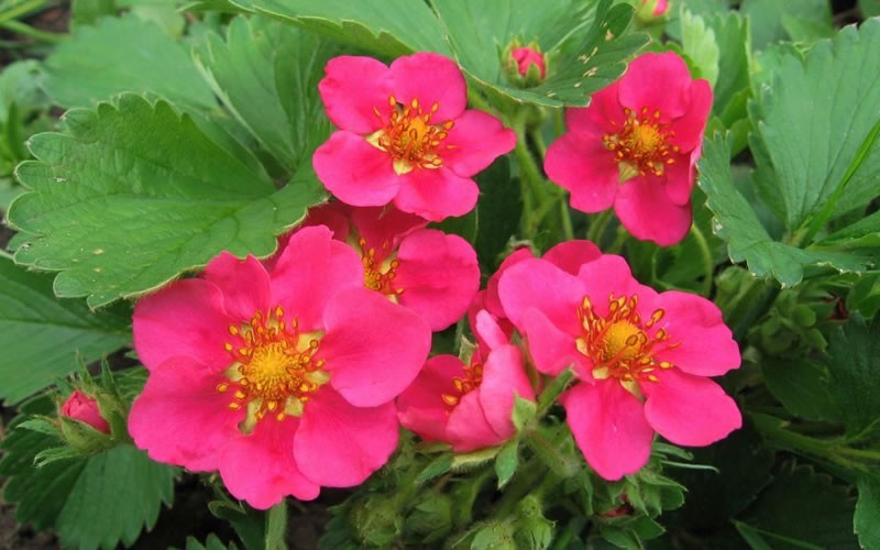 Fragaria ananassa 'Lipstick' - Lipstick Ornamental Strawberry - 50 Count Flat of Plugs - Evergreen Perennials | ToGoGarden
