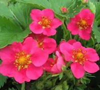 Fragaria ananassa 'Lipstick' - Lipstick Ornamental Strawberry