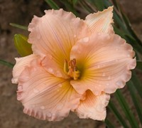 Shop Fairy Tale Pink Daylily - 1 Gallon