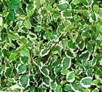 "Shop Ficus pumila 'Variegata' - Variegated Creeping Fig - 10 Count Flat - 4.5"" Pots"