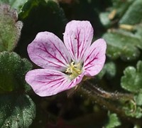 Bishop's Form Pink Cranesbill