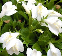 "Shop White Mazus Albus - 10 Count Flat of 4.5"" Pots"