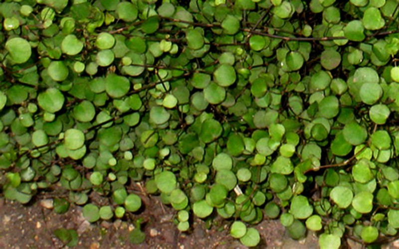"Muehlenbeckia axillaris 'Nana' - Little Leaf Creeping Wire Wine - 10 Count Flat - 4.5"" Pots - Evergreen Vines 
