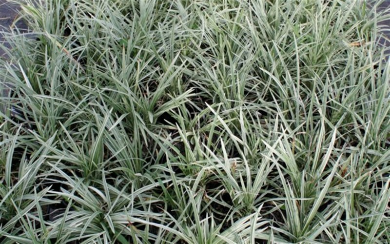 Ophiopogon japonicus 'Nana Variegated' - Variegated Dwarf Mondo Grass - 10 Count Flat - 4.5