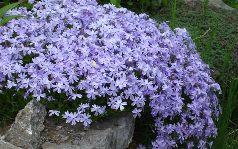 Buy Emerald Blue Creeping Phlox - 1 Gallon - Phlox ...