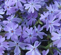 Shop Emerald Blue Creeping Phlox - 1 Gallon