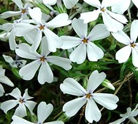 Shop White Creeping Phlox - 1 Gallon