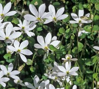 Pratia angulata - White Star Creeper