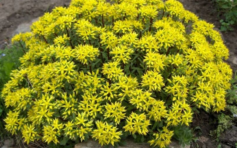 Weihenstephaner Gold Stonecrop - 3 Count Flat of Pint Pots - Sedum - Stonecrop | ToGoGarden