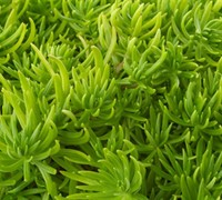 Sedum rupestre 'Lemon Ball' - Lemon Ball Stonecrop
