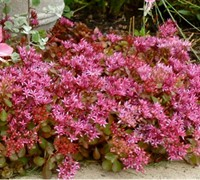 "Shop Red Carpet Stonecrop - 18 Count Flat of 4"" Pots"
