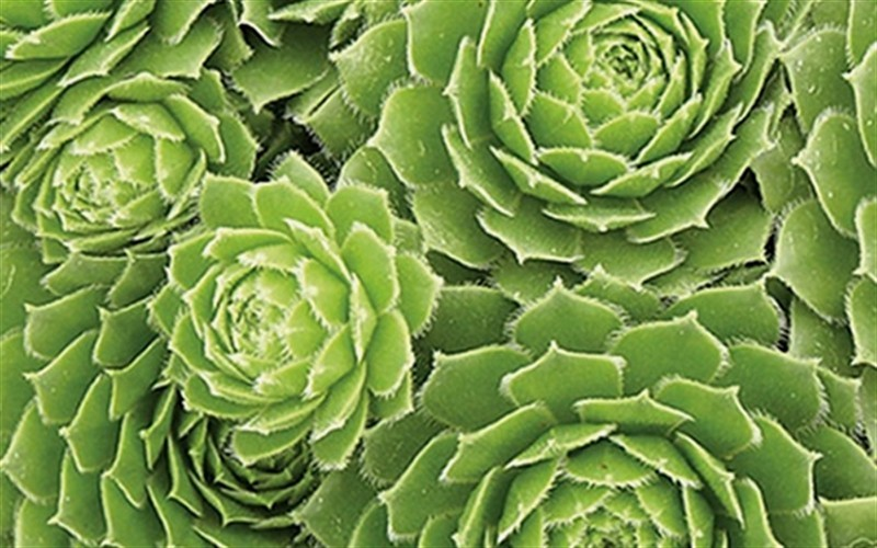 Sempervivum 'Green Wheel' - Green Wheel Hen And Chicks - 10 Count Flat - 4.5
