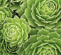 Sempervivum 'Green Wheel' - Green Wheel Hen And Chicks
