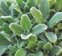 Stachys byzantina 'Silky Fleece' - Silky Fleece Lambs Ear