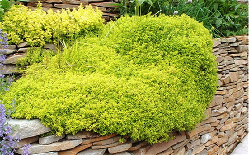 Thymus citriodorus 'Archers Gold' - Archer's Gold Thyme - 10 Count Flat - 4.5