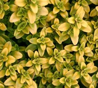 Shop Thymus citriodorus 'Archers Gold' - Archer's Gold Thyme - 10 Count Flat - 4.5