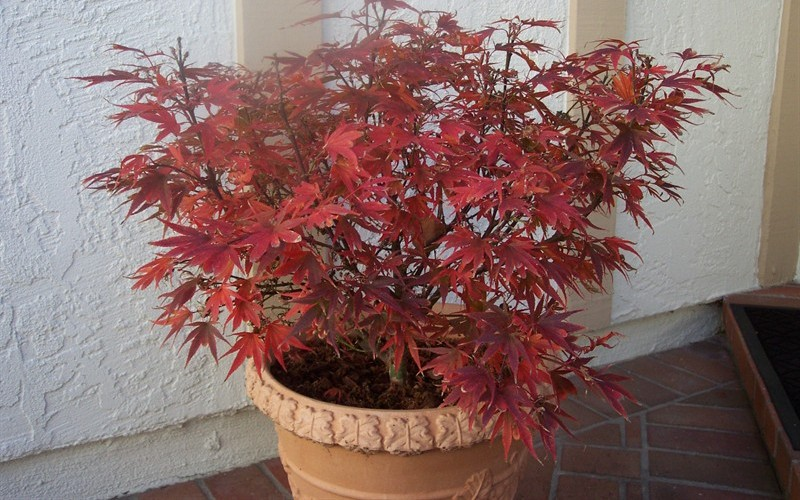 Shaina Japanese Maple Photo 4