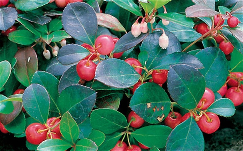 Gaultheria procumbens - Spreading Wintergreen