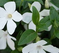 "Shop White Periwinkle - 10 Count Flat of 4"" Pots"