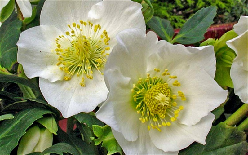 Josef Lemper Helleborus - Lenten Rose - 1 Gallon - Long Blooming Perennials | ToGoGarden