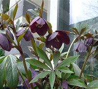 Metallic Blue Lady Helleborus - Lenten Rose