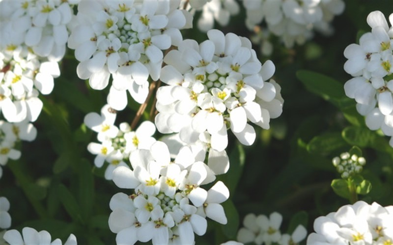 Iberis sempervirens 'Tahoe' - Tahoe Candytuft Photo 1