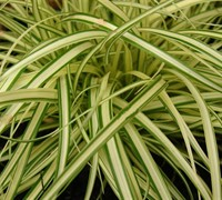Carex hachijoensis - Evergold Japanese Sedge