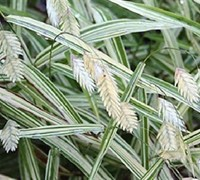 Chasmanthium latifolium 'River Mist' - River Mist Variegated Northern Sea Oats