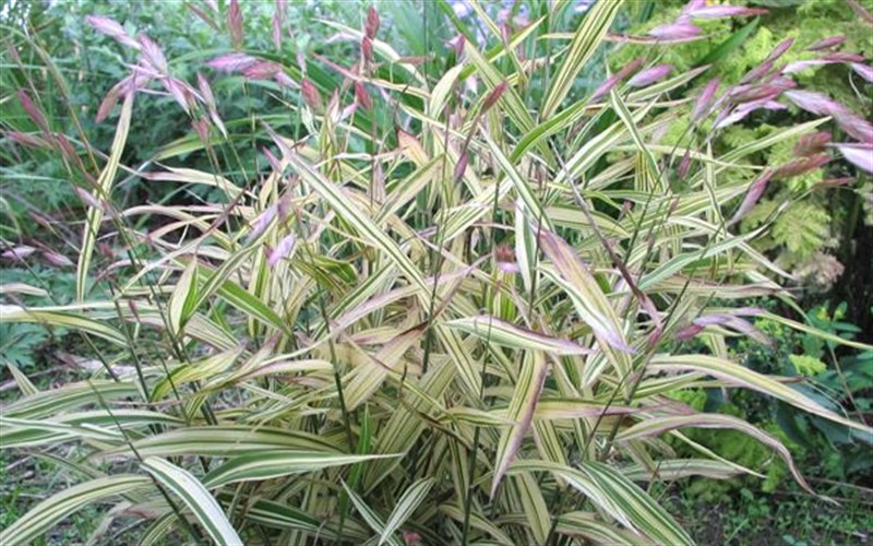Chasmanthium latifolium 'River Mist' - River Mist Variegated Northern Sea Oats Photo 3