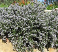 Shop Prostrate Creeping Rosemary - Rosmarinus - 1 Gallon