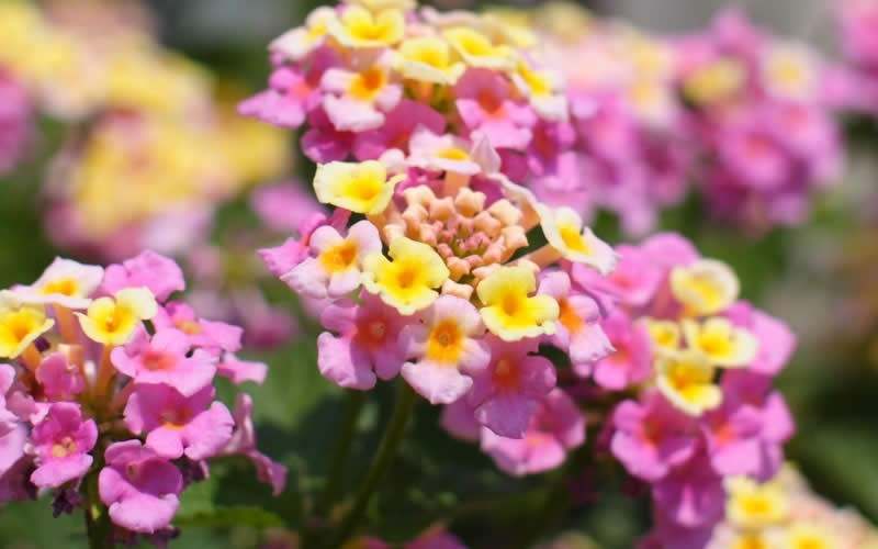 Mozelle Hardy Lantana - 1 Gallon - Perennials for Attracting Hummingbirds | ToGoGarden