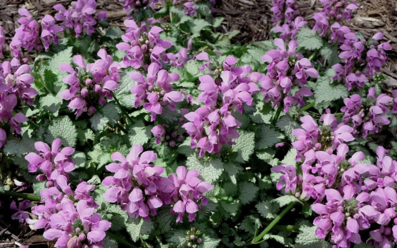 "Lamium maculatum 'Beacon Silver' - Beacon Silver Spotted Dead Nettle - 10 Count Flat - 4.5"" Pots - Toe Ticklers / Stepable Plants 