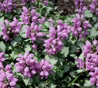 Shop Lamium maculatum 'Beacon Silver' - Beacon Silver Spotted Dead Nettle - 1 Gallon