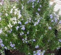 Shop Tuscan Blue Rosemary - 1 Gallon