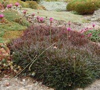 Armeria maritima 'Rubrifolia' - Red Leaf Sea Thrift