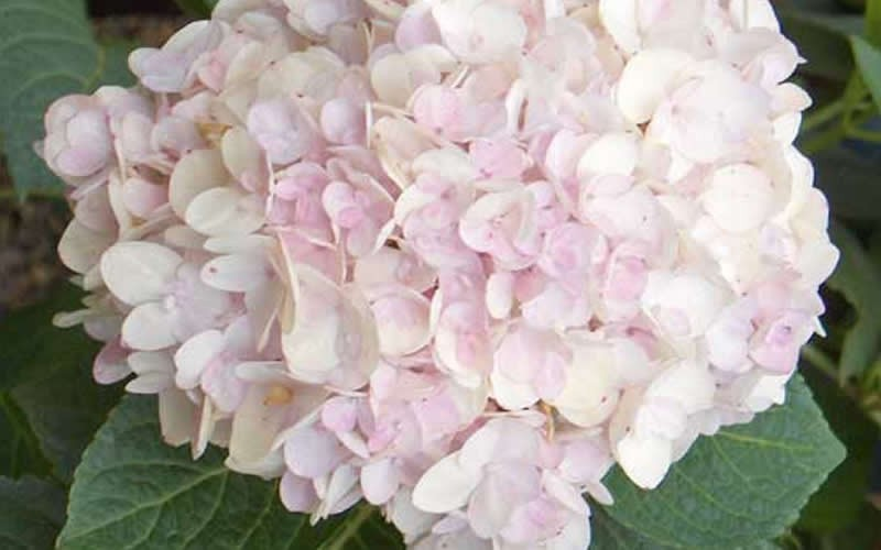 hydrangea shrubs  buy plants online, Beautiful flower