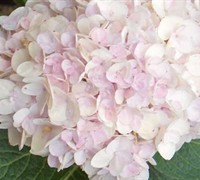 Shop Blushing Bride Hydrangea - 1 Gallon