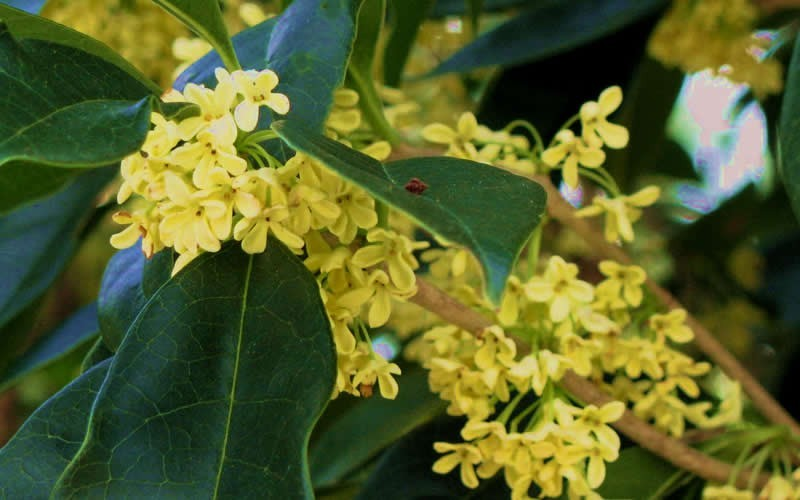 Conger Golden Yellow Tea Olive - Osmanthus fragrans 'Conger'  - 1 Gallon - Sun Loving Shrubs | ToGoGarden