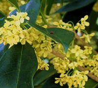 Conger Golden Yellow Tea Olive - Osmanthus fragrans 'Conger'